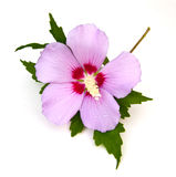 Rose of Sharon Stock Images