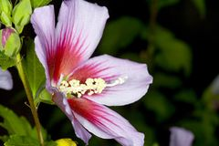 Rose of Sharon. Shot of the unique 'Rose of Sharon' hibiscus bloom stock image