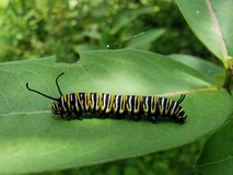 Monarch caterpillar. Rose of sharon in bloom royalty free stock images