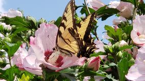 Rose Of Sharon Butterfly Beauty stock photos