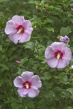 Rose of Sharon Flowers Stock Photos