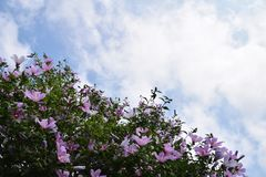 Rose of sharon. Is a good match for the blue sky of the summer. Suddenly as if summer came, pink and white flowers are open all at once in the fence of a house Stock Photography