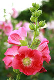 Rose of Sharon Royalty Free Stock Photos