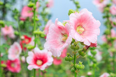 Rose of Sharon Royalty Free Stock Photography