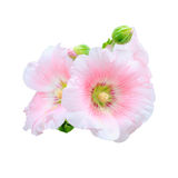 Rose of Sharon Stock Photography