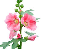Rose of Sharon Stock Photos