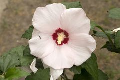 Rose of Sharon `Red Heart` pale pink flower with ant. Royalty Free Stock Photos