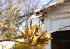 Rose of Sharon Seedpods. Rose of Sharon (Hibiscus syriacus) pods, or capsules, open so to disperse all of their seeds before the spring season Stock Photos