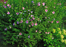 Rose of Sharon Shrub. Hibiscus Syriacus Shrub with Pink Flowers, home or commercial Landscaping stock photography