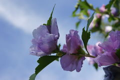 Rose of Sharon and Sky Stock Photo