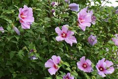 Rose of sharon Royalty Free Stock Images
