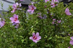 Rose of sharon Royalty Free Stock Photo