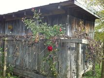 Rose shed Royalty Free Stock Photography