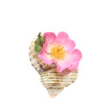 Rose and shell Royalty Free Stock Image