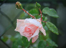 Rose sheltered snow Stock Photography