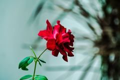 Rose.. stock images