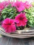 rose shooking photo stock