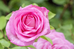 Rose. Showing a vibrant pink rose up close Royalty Free Stock Photos