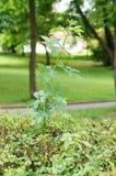 Rose and shrub Stock Photo