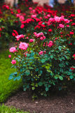 Rose, shrub roses, flowers. Growing in the garden, around the green lawn Stock Images