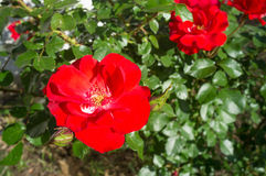 Rose shrub. With several  open red flowers Royalty Free Stock Image