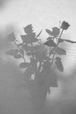Rose silhouette. Silhouette of a bouquet of roses at the window Stock Image
