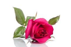 Rose simple de cramoisi Image libre de droits
