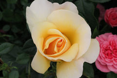 Rose simple de jaune dans le jardin naturel Image stock