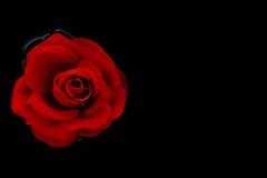 Rose simple de rouge à nager sur le fond de noir de l'eau Photos libres de droits