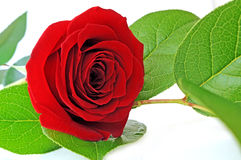Rose simple de rouge Images stock