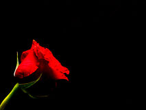 Rose simple de rouge, fond noir Photo stock