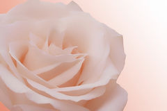 Rose, single. Beautiful pink perfect rose on a gradient background Stock Photography