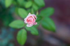 Rose Single Have Green Leaf die Hintergrund-Unschärfe stockfotografie