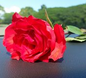 A rose Royalty Free Stock Photos