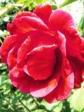 Rose. Single macro rose royalty free stock photo