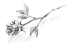 Rose sketch. Sketch of a rose flower royalty free stock image