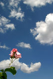 The rose and the sky. A lonely rose towards a cloudy sky Royalty Free Stock Photos
