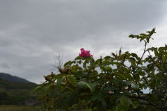 A rose in the sky. Royalty Free Stock Images