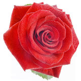 Rose with small water drops. Isolated beautiful rose with small water drops Royalty Free Stock Photography