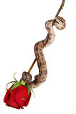 Rose and snake. Rose with snake on white background Stock Image