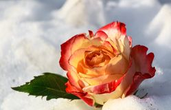 rose snow Royaltyfria Foton