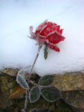 Rose in the snow Royalty Free Stock Images