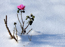 Rose in snow Stock Photos