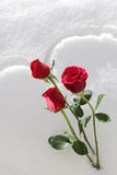 Rose Snow Stock Photo
