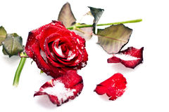 Rose in the snow. Broken red rose in the snow Stock Images