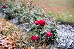 rose snow Royaltyfria Bilder