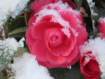 rose snow Royaltyfri Foto
