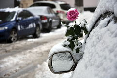 Rose in the snow Stock Images