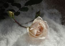 Rose in the snow with dew drops. Pink rose on white fluffy snow on with a green bud and dew drops Royalty Free Stock Photos
