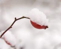 rose snow för bärhöftred Royaltyfria Foton